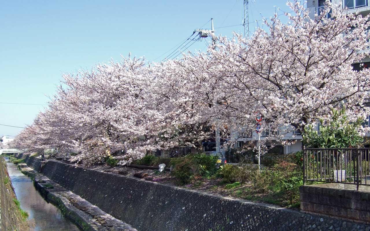 桜の画像 p1_22
