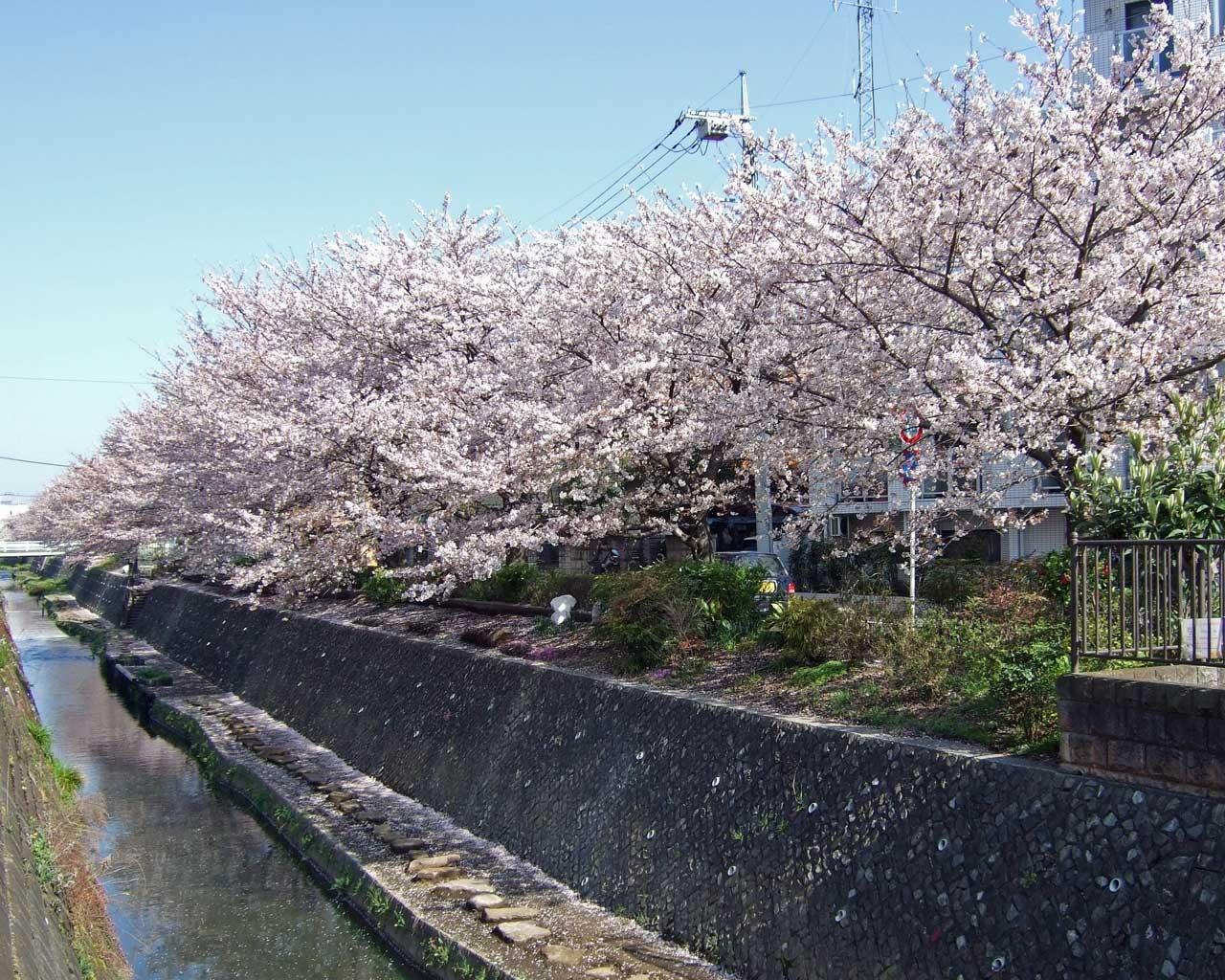 無料壁紙画像 桜 さくら