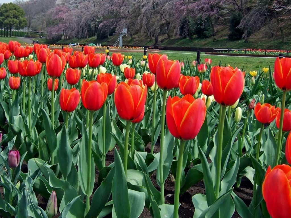 春の花無料壁紙画像 菜の花 チューリップ